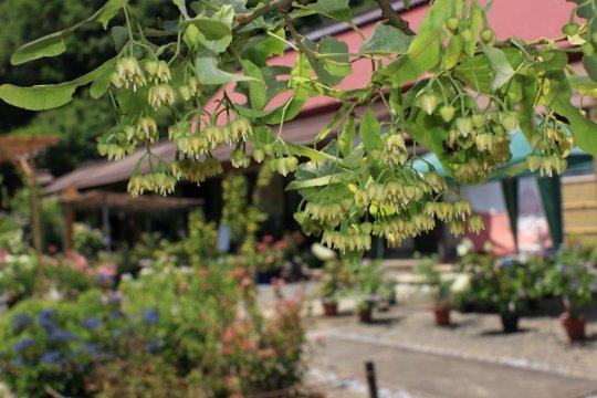 菩薩樹の花